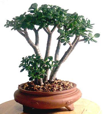 Комнатные растения талисман